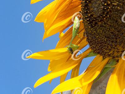 praying mantis on sunflower eating a bee