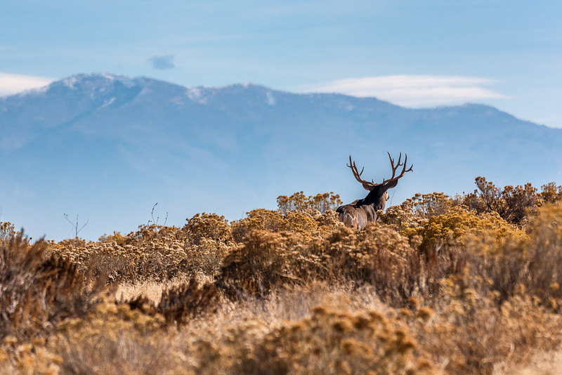 Utah Mule Deer on Horizon