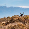 Utah Mule Deer on Horizon