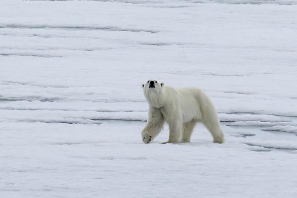 Sniffing polar bear