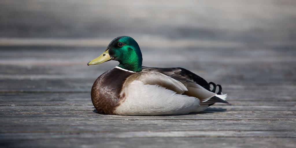 Sitting Dock Duck