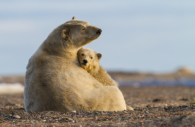 Mother & Cub Polar Bear