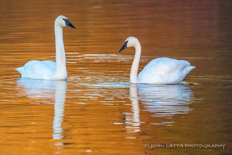 Trumpeter Swan Adult Pair