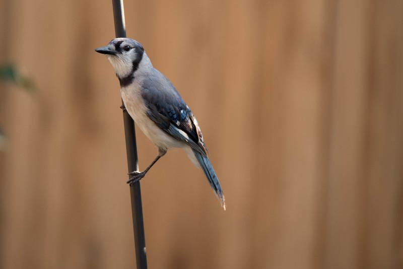Blue Jay perched on feeder pole.