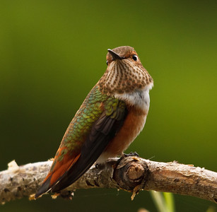 Rufous Hummingbird, male juvenile