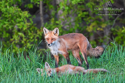 Red Fox (Vulpes vulpes) with kit, Thornton, Ontario, Canada