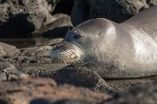 Monk seal portrait
