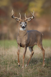 Wide-Racked White-tailed Buck