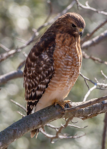 Red-Shouldered Hawk 2/14/19