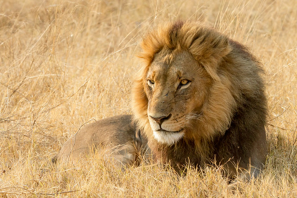 Lion in tall grass