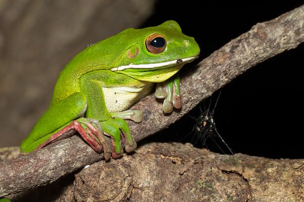 White-lipped Tree Frog