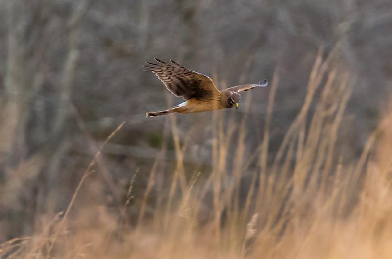 Northern Harrier in Flight 12/28/16