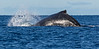 Why they are called humpbacks