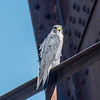 A Peregrine Falcon 11/4/16