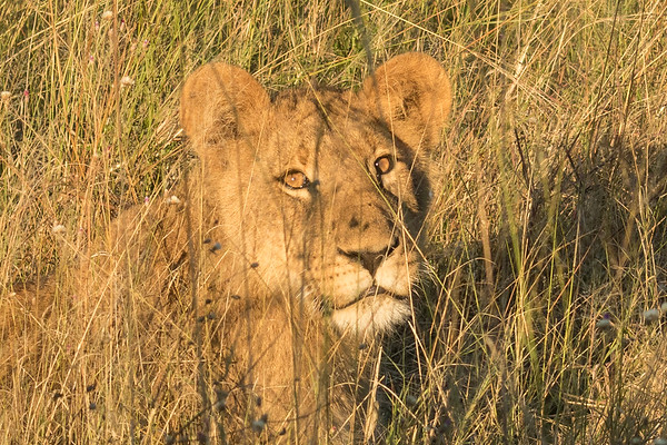 Young lion in the tall grass