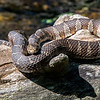 Northern Water Snake 6/24/16