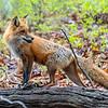 A Mama Red Fox 4/30/21