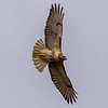 Red-Tailed Hawk 2/20/16