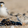 Least Tern Chick with Parent 6/18/16