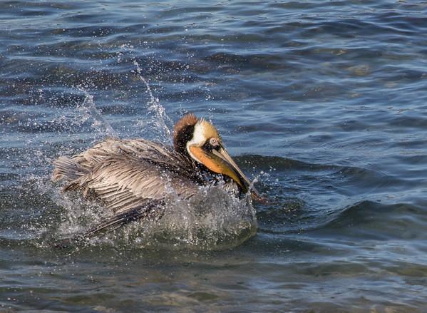 Brown Pelican | LaJolla | California
