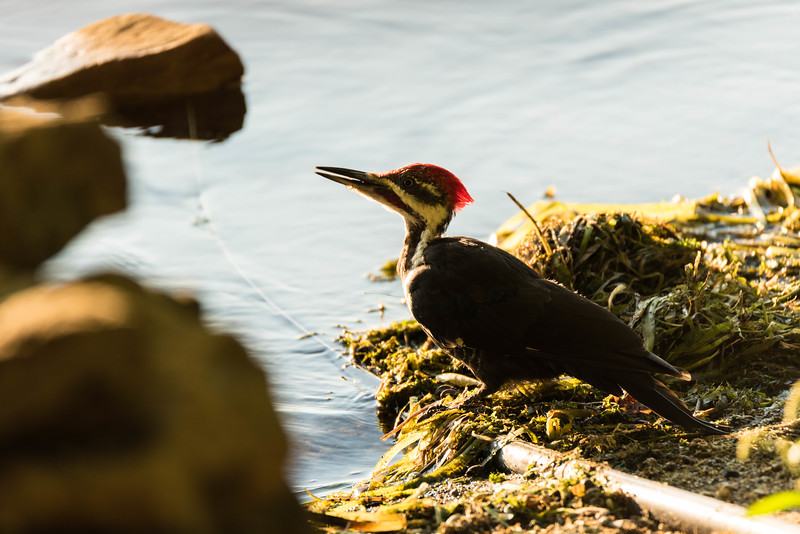 Pileated Woodpecker having a drink