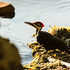 Pileated Woodpecker having a drink