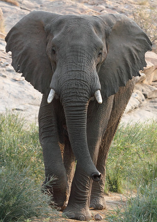 Mock Charge - Juvenile Elephant
