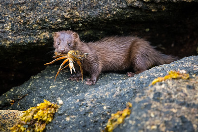 Mink with a Crab Dinner