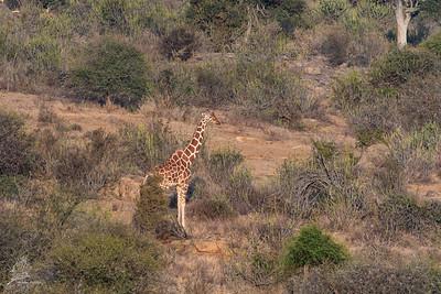 Giraffe, Net-