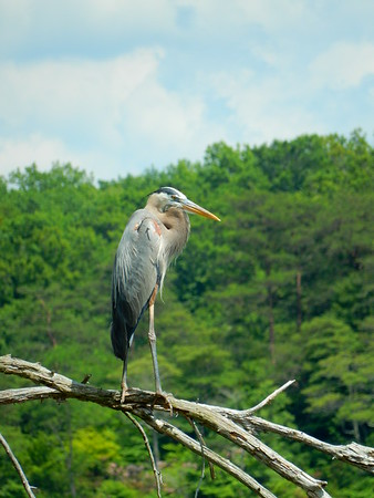 Great Blue Heron Keeping a Watchful Eye