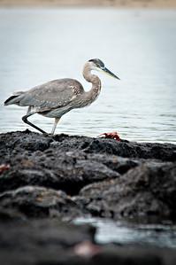 Great blue heron- Isla Santa Maria (Floreana)