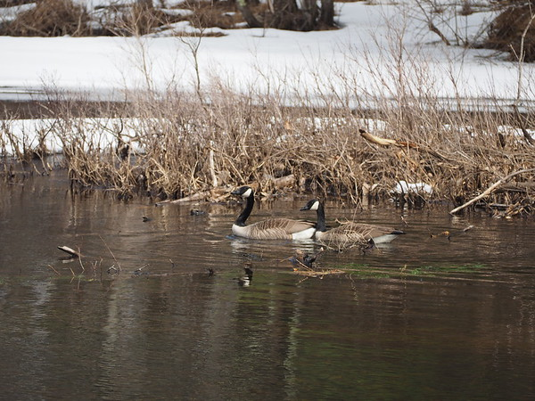 Canadian Geese #2