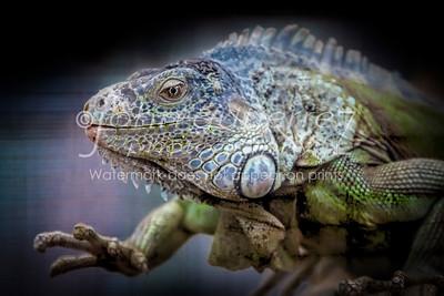 Large lizard