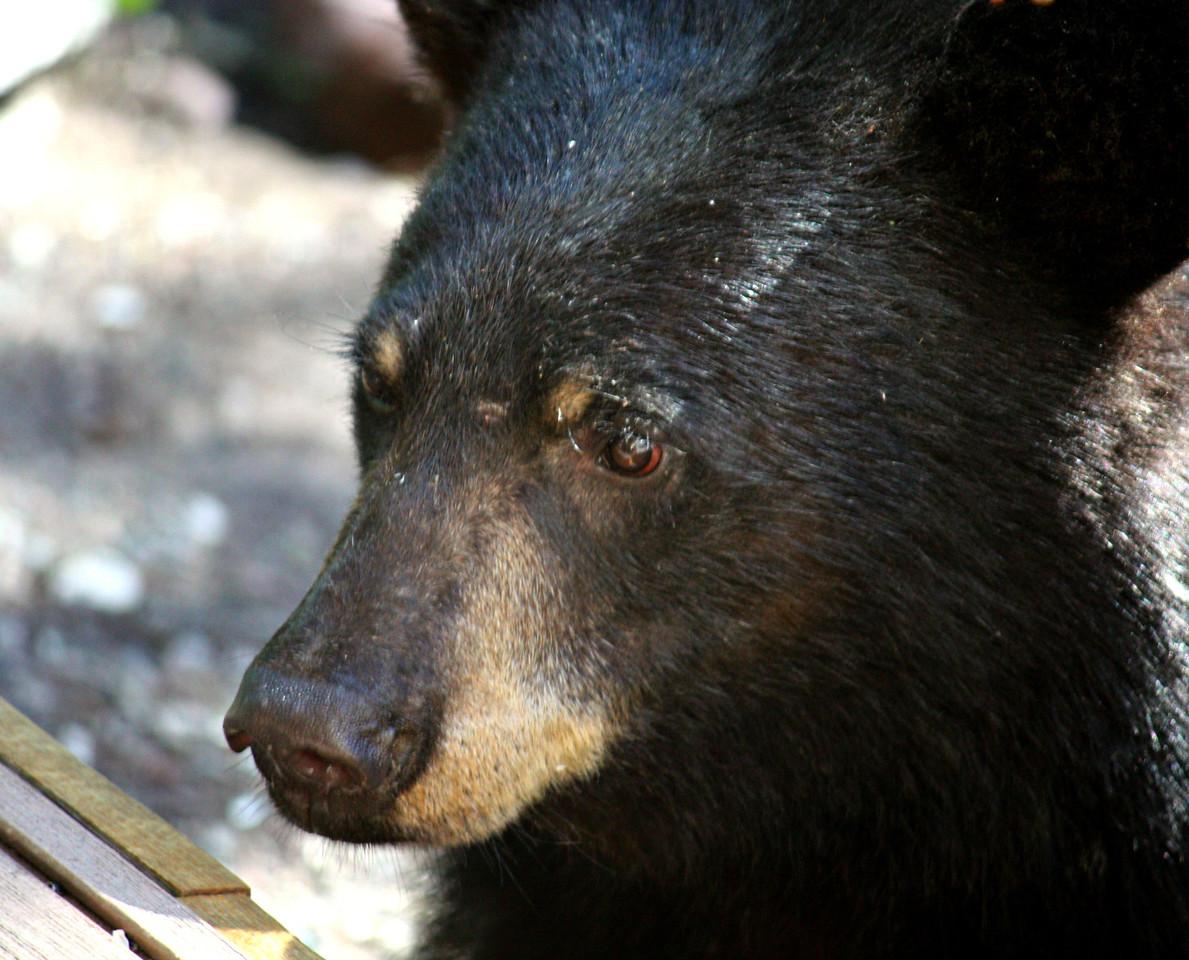 Woeful Bear