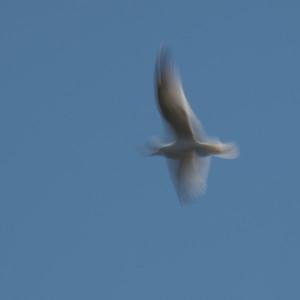 Seagulls In Flight_2