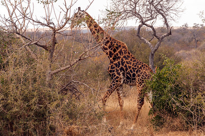 Tremisana Lodge - Giraffe