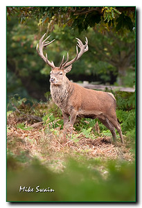 RED DEER - DERBYSHIRE
