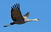 Thankful for Sandhill Cranes
