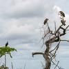 Necrosyrtes monachus & Anastomus lamelligerus