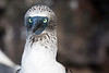 Blue footed booby, Isla Santa Cruz, Galapagos Islands, Ecuador.