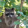 Raccoon Eating Mulberries, Indiana