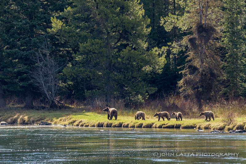 Grizzly 399 and Her Cubs March Along the Bank of the Snake River