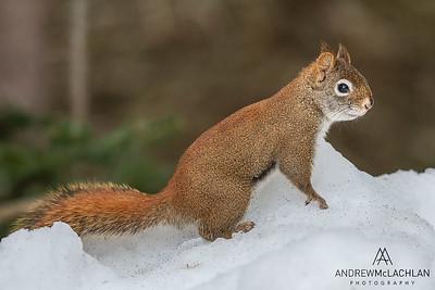Red Squirrel (Tamiasciurus hudsonicus), Algonquin Provincial Park, Ontario, Canada