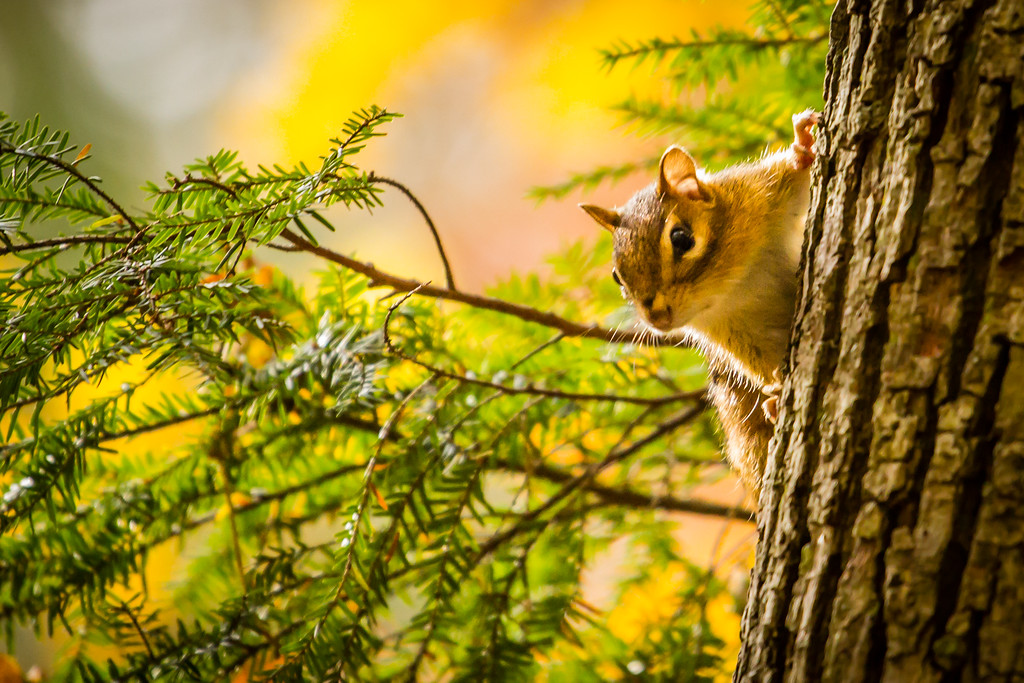 Chipmunk Peek-A-Boo