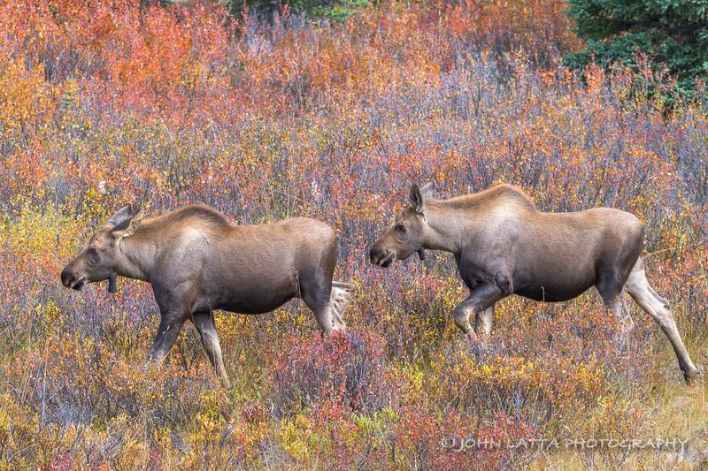 Moose Calf Twins