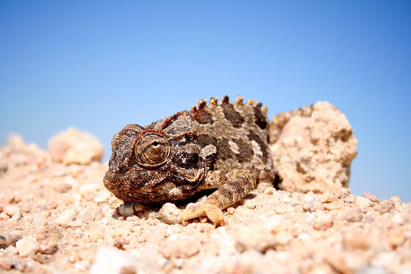 Namibian Chameleon