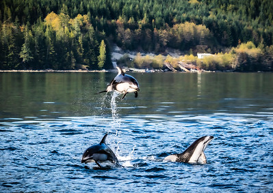 Pacific White-Sided Dolphins at Play