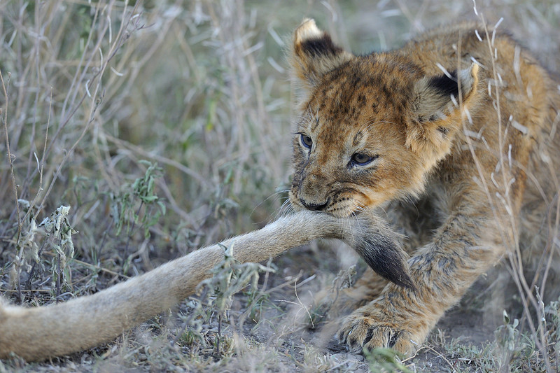Lion Cub Pulling Its Mother's Tail, Kenya, East Africa
