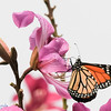 Monarch Butterfly in Chinese Orchid Tre
