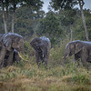 Elephants in the rain, Masai Mara, Kenya, East Africa